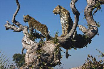 A female leopard and her male cub make use of a leadwood tree to scan their sourroundings for signs of potential prey or possible threats.  This cub was the surviving member of a pair, and the female managed to raise him to maturity and independence.  The image was taken near Jao in the Okavango Delta, Botswana.