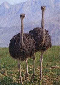 A pair of ostriches