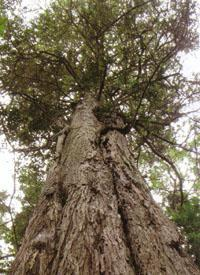 The Outeniqua yellowwood can grow taller than any other tree in the forest.