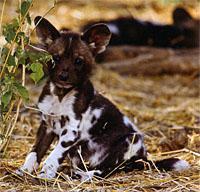 wild pup