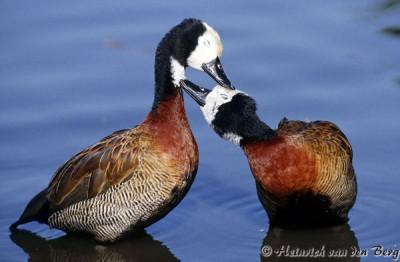 White faced whistling ducks at Durban Botanical Gardens