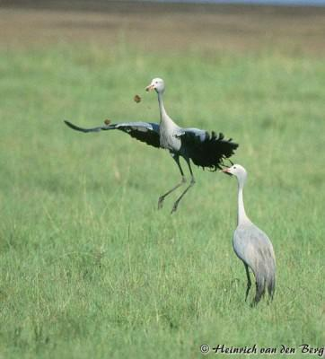 Blue Cranes Dancing at Midmar Game Reserve