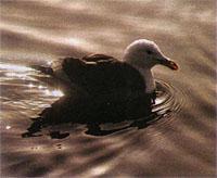 A Kelp Gull