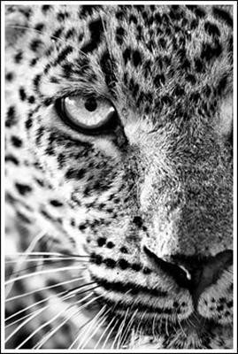 Leopard by Heinrich van den Berg