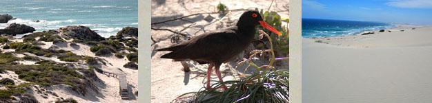 Coastal Walk, African Black Oystercatcher, Rolling Dunes