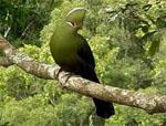 Knysna Turaco in the Forest