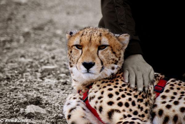 Cheetahs enjoy human interaction at Tenikwa