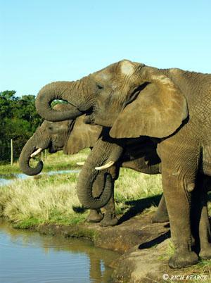 Elephants enjoying their drink at the Elephant Sanctuary