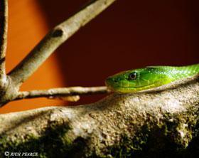 A Green Mamba on display at Lawnwood Snake Sanctuary