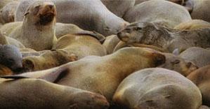 Cape Fur Seals in Plettenberg Bay - on the Robberg Pensinsula