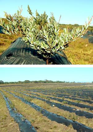 Ericaville Honeybush Farm - Top: Honeybush, Bottom: Ericalville Honeybush Plantation