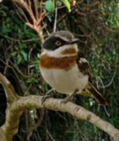The Cape Batis
