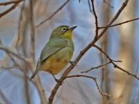 The Cape White-eye