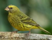 The Forest Canary