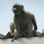 How to cope with Baboons in the Western Cape