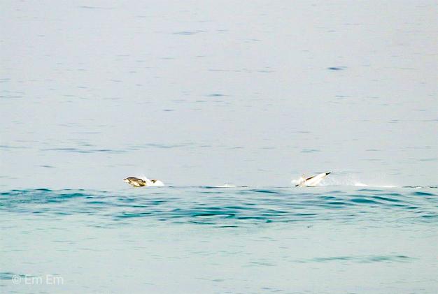 Dolphins off Keurbooms Strand, Plettenberg Bay