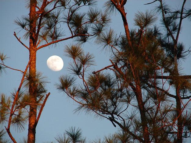 POEM - The Pine Tree