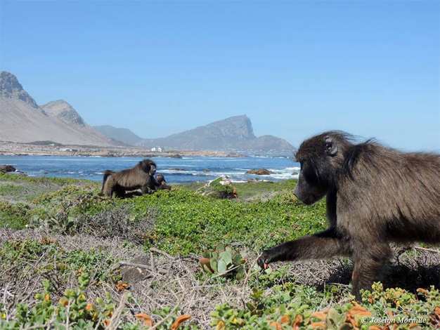 The role of baboons in our fynbos ecosystem