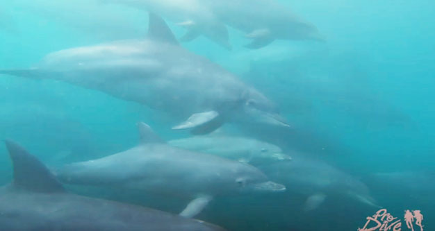 local bottlenose dolphins in Plett