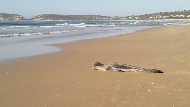 WATCH: Rare Leopard Seal spotted on Robberg