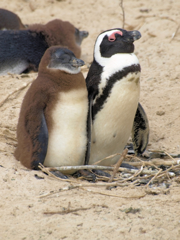 African Penguin Day 2020