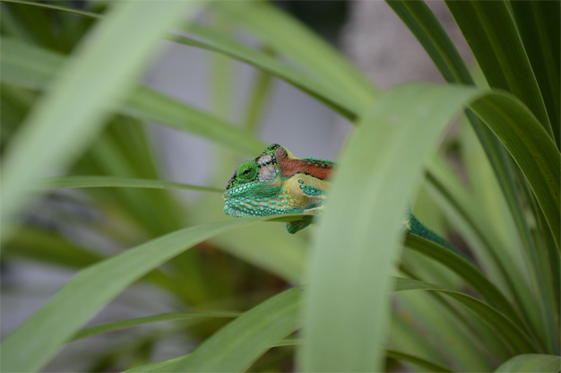 Lookout for Knysna Dwarf Chameleon tucked away in your gardens