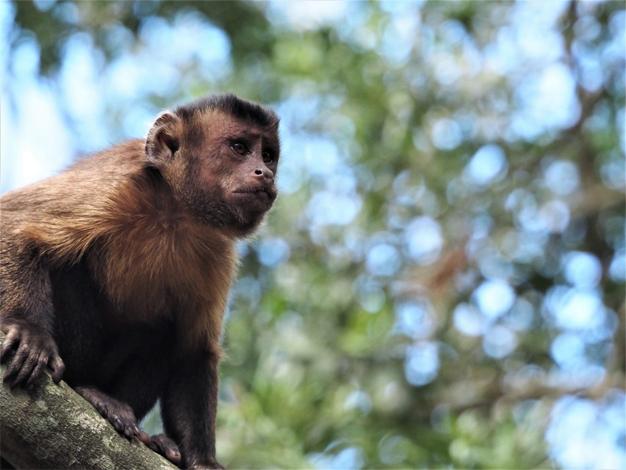 Capuchin monkeys – Learn about wildlife