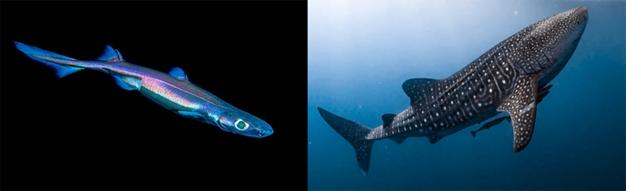 NVT - For the love of sharks!