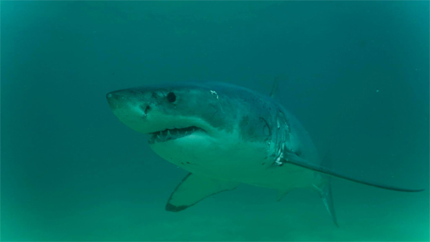 Photos of sharks visiting the Robberg Peninsula