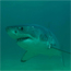 Sharks filmed visiting the Robberg Peninsula