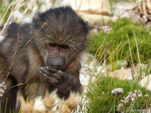 Effective primate deterrent: The ocimum hedge