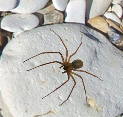Violen Spider