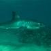 sharks-6