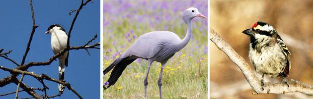 Birding in Pretoria
