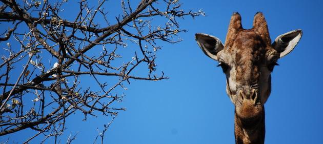 Giraffe at Groenkloof
