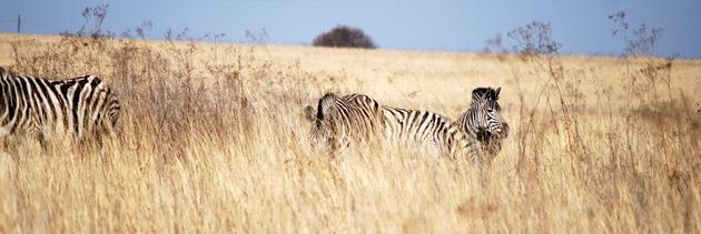 Zebra at Rietvlei Nature Reserve
