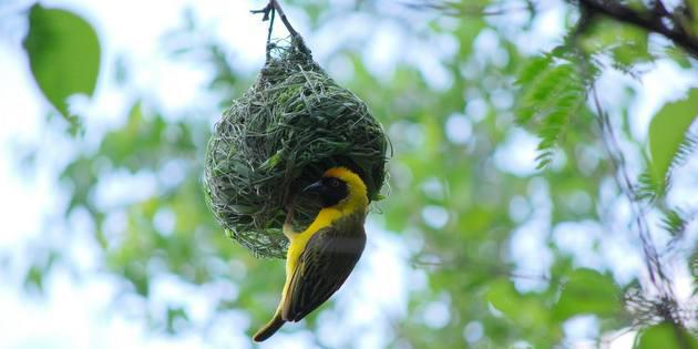 Southern-Masked-Weaver