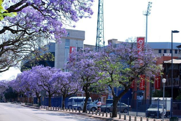 Jacarandas next to Loftus in Kirkness Street.