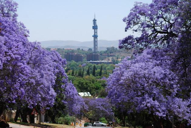 Jacarandas in Rigel Avenue