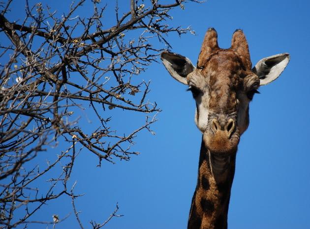 Giraffe at Groenkloof Nature Reserve