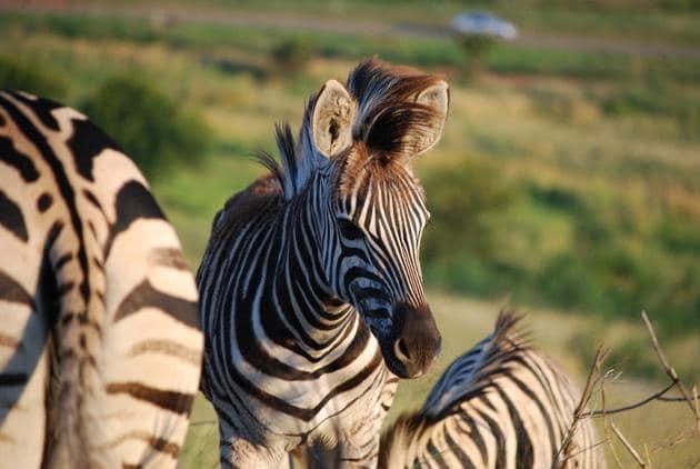 Zebra at Klapperkop
