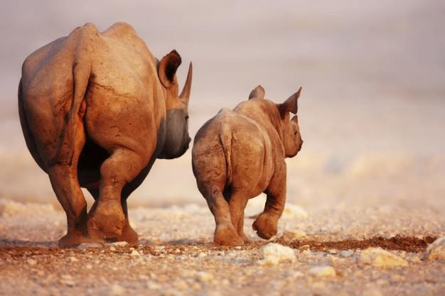 Picture courtesy of OSCAP: The endangered rhinos