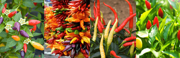 About Chillies