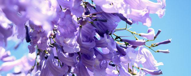 Jacaranda-Blossom-630x250