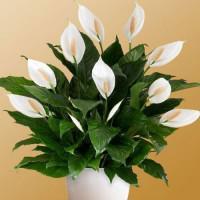 peace-lilies