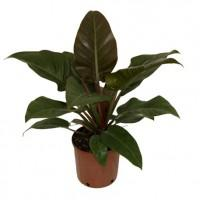 philodendrons-200