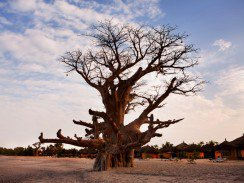 Scientists are shocked at the sudden death of most of Africa's largest baobabs 244