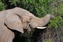 Elephant-Pilanesberg