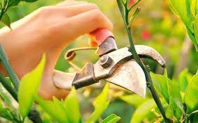 pruning 1