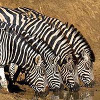 Zebras at Sun City